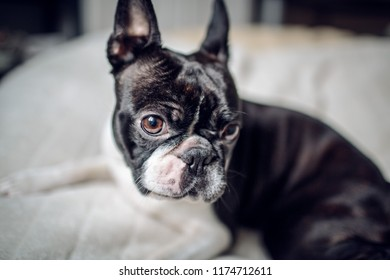 Close Up Portrait of a Boston Terrier dog at home on her blanket