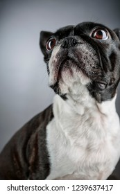 Close Up Portrait of a Boston Terrier dog int the studio