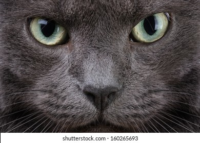 close up portrait of british cat, serious look