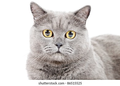 Close up portrait of british shorthair cat isolated on white background