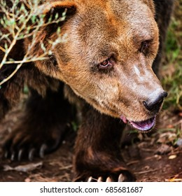 The close portrait of brown bear