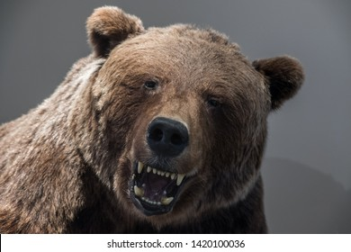 close up portrait of brown bear in aggressive pose with open mouth