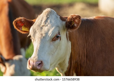 Close up portrait of a brown cow with white head looking straight in to the camera