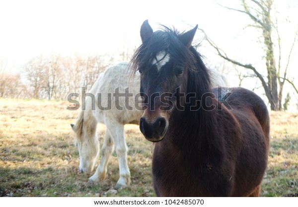 Close up portrait of a brown horse with a white star and black mane, and a white horse grazing in the background, in the South of France, Ariege, Pyrenees