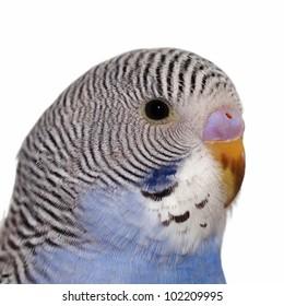 close portrait of budgerigar  isolated on white background
