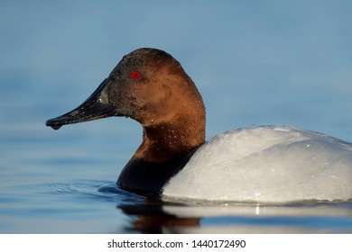 A close portrait of a Canvasback male drake floating on calm water with a smooth blue background.