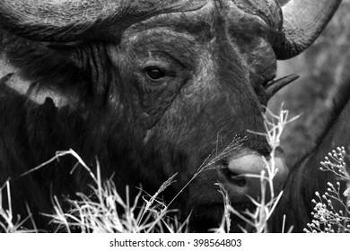 Close up portrait of cape buffalo head.South Africa