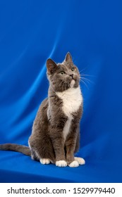 Close up portrait of the cat on blue background.  Gray and white cat with yellow eyes looking upwards.