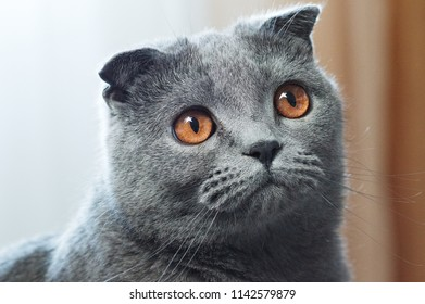 Close up portrait cat. Scottish Fold Gray lop-eared cat. glare in the shape of a star in the eyes.