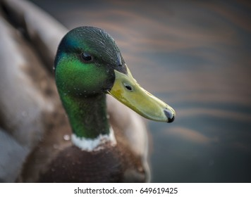 Close up portrait of a charming Mallard duck at sunset with water droplets on his head.
