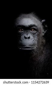 Close up portrait Chimpanzee look straight ahead isolated on black monochrome portrait