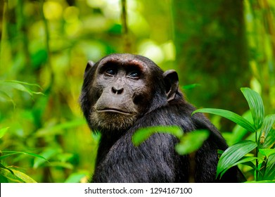Close up portrait of a chimpanzee in Uganda, Africa