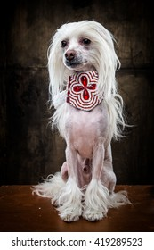 Close up portrait of Chinese crested dog in studio