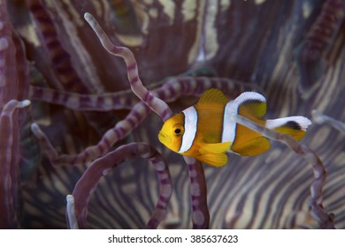 A close up portrait of a clown fish in Mozambique