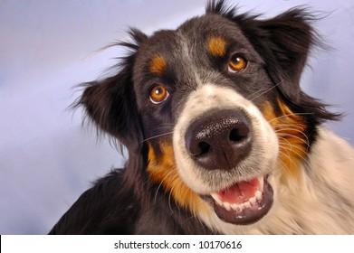 Close up portrait of a collie dog.