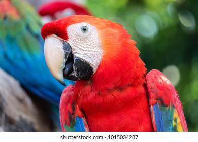 close up portrait of colorful scarlet macaw parrot (Ara macao)