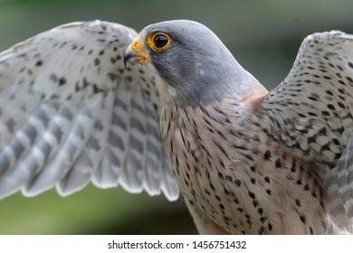 Close up portrait of a common kestrel (falco tinnunculus) with open wings