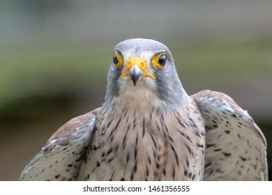 Close up portrait of a common kestrel (falco tinnunculus)