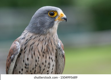 Close up portrait of a common kestrel (falco tinnunculus)