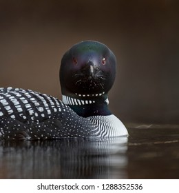A close up portrait of a Common Loon with a smooth brown background and soft overcast light.