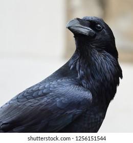 Close up portrait of a common raven (corvus corax)