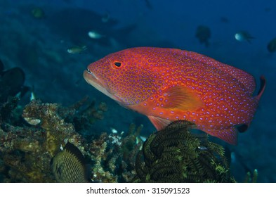Close up portrait of a Coronation trout over a coral reef in Bali