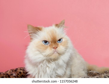 Close up portrait of a cream colored Peke-face Persian, which has an extremely flat face. Looks like a grumpy cat. Pink background