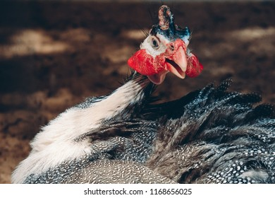 Close up portrait of curious helmeted guinea-fowl with spotted black white feathers and red beak at farm looking into camera