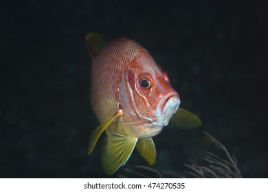Close up portrait of a curious tropical offshore coral reef fish, a Giant squirrelfish (Sargacentron spiniferum), in the popular holiday destination of the Maldives Islands