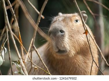 Close up portrait of a cute capybara (Hydrochoerus hydrochaeris)