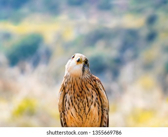 Close up portrait of cute Lesser Kestrel with copy space and unfocused background. Birdwatcher training concept.