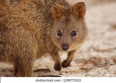 Close up portrait of a cute quokka on Rottnest Island, Australia