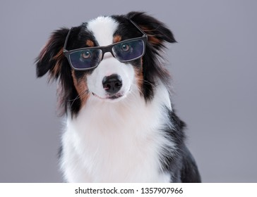 Close up portrait of cute young Australian Shepherd dog with eyeglasses on gray background. Beautiful adult Aussie, looking at camera.