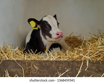 close up portrait of a cute young calf of a holstein cow with black and white fur that is lying upon straw in a box for freshly born cows