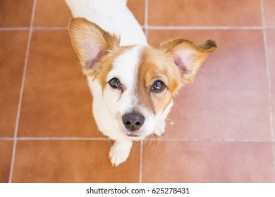 close up portrait of a cute young dog looking at the camera. Brown background. Funny ears, Top view