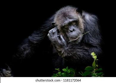 Close up portrait Cutie Gorilla bite branch in his mouth on black background