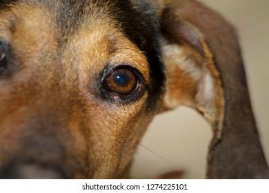 Close up portrait of a Doberman puppy.