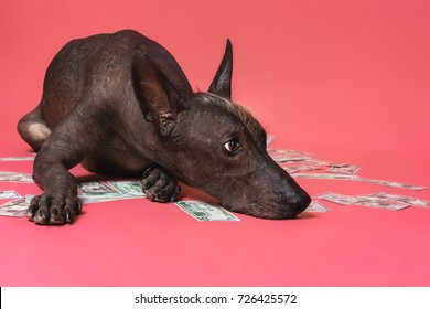 close up portrait of a dog xoloitzcuintle breed lies on a pile of American dollars money on a pink background. Wealth