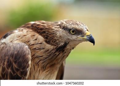 Close up portrait of an Eagle hawk