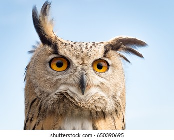Close up portrait of an eagle owl (Bubo bubo) against blue sky with yellow and big eyes and a funny expression