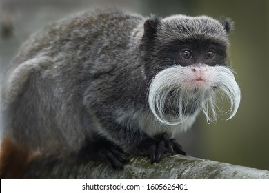 A close up portrait of an emperor tamarin, showing its long moustache and staring alertly to the right