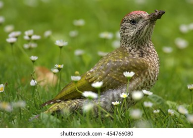 Close up portrait of  European green woodpecker, Picus viridis, juvenile, looking ants among white daisy flowers in spring meadow. Europe, Czech republic.