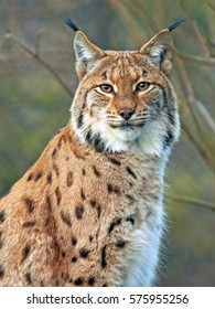 Close up portrait of European Lynx, looking towards camera.