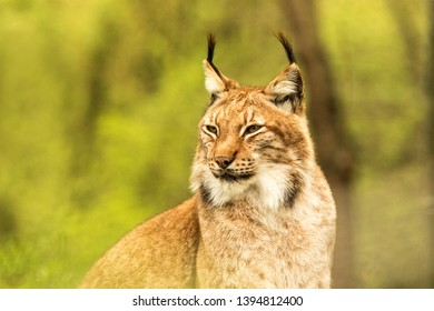 Close up portrait of European Lynx resting in spring landscape in natural forest habitat, lives in forests, taiga, steppe and tundra, animal in captivity, zoo