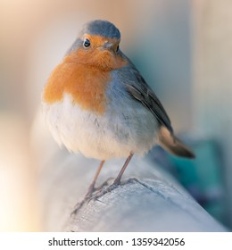 Close portrait of European Robin, Robin Redbreast or Petirrojo (Erithacus rubecula), a very common bird that inhabits close to human gardens and parks.