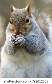 Close up portrait f a grey squirrel eating a nut