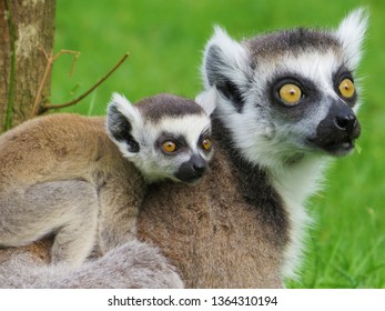 Close up portrait of a family of Ring-tailed lemurs, Lemur catta, beautiful cute ring-tailed lemurs