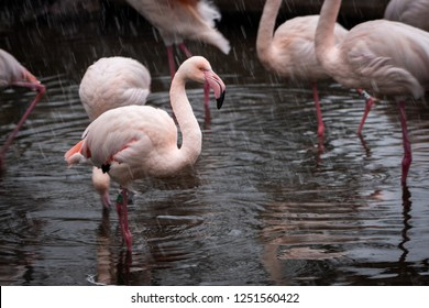 Close portrait of Flamingo Greater Flamingo / Phoenicopterus roseus in snowfall.