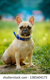 Close up portrait of a French Bulldog