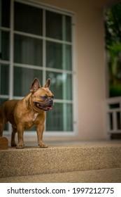 Close up portrait French Bulldog. Cute happy French bulldog puppy.